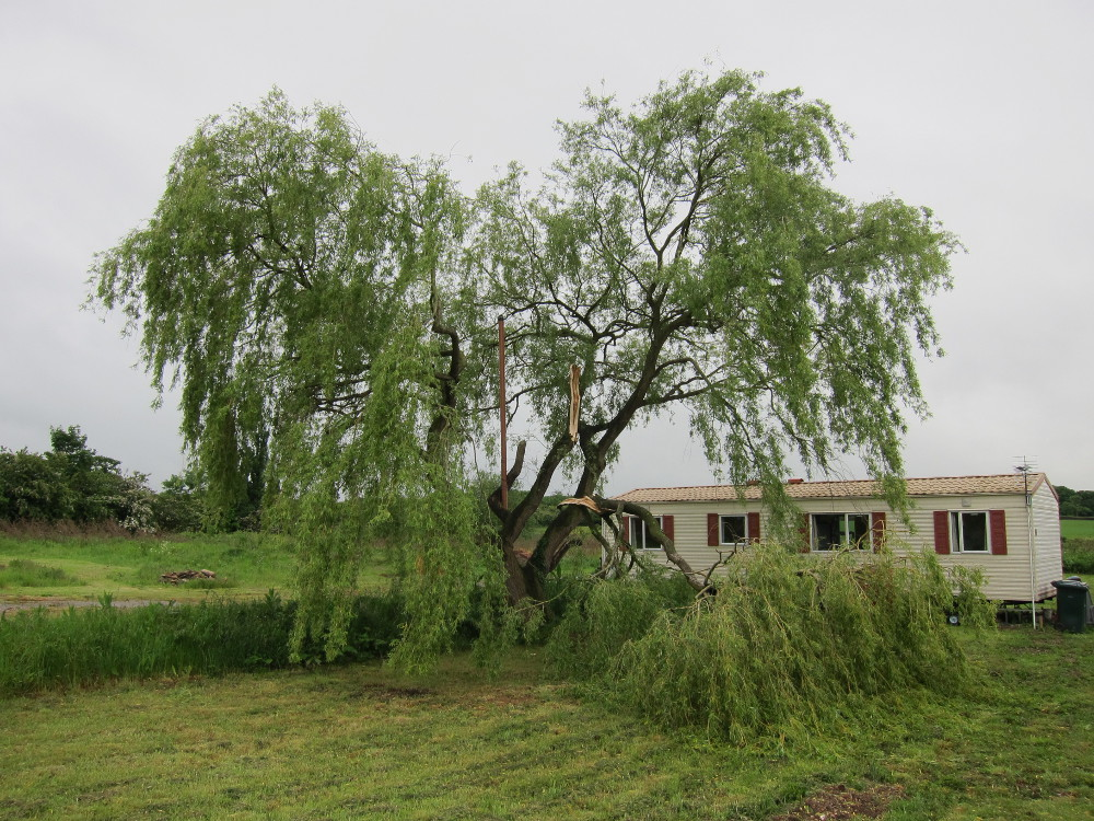 Storm damage to willow tree