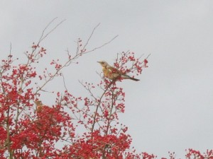 Fieldfare feeding on hawthorn berries, 2015-11-15